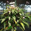 AnthuriumAmnicola.jpg 642 x 856 px 180.14 kB