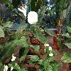 AnthuriumAndreanum2.jpg 1141 x 856 px 241.31 kB