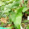AnubiasHastifolia.jpg 615 x 820 px 110.94 kB