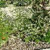ApiumGraveolens3.jpg 634 x 845 px 218.56 kB
