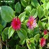 ApteniaCordifolia2.jpg 799 x 598 px 75.05 kB