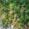 ApteniaCordifolia.jpg 796 x 597 px 150.77 kB