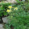 AquilegiaChrysantha2.jpg 720 x 960 px 446.64 kB