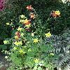 AquilegiaChrysantha.jpg 720 x 960 px 468.08 kB