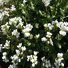ArabisCaucasica2.jpg 1219 x 914 px 438.45 kB