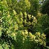 AraliaCalifornica2.jpg 1204 x 800 px 530.83 kB