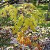AraliaChinensis.jpg 576 x 768 px 170.35 kB