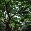 AraliaElata7.jpg 720 x 960 px 477.4 kB