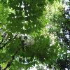 AraliaElata8.jpg 1024 x 768 px 224.65 kB