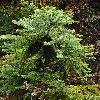 AraucariaAngustifolia4.jpg 600 x 800 px 406.12 kB
