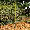 AraucariaAngustifolia5.jpg 600 x 903 px 429.59 kB
