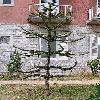 AraucariaAraucana5.jpg 576 x 768 px 156.7 kB