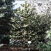 AraucariaAraucana8.jpg 720 x 960 px 538.93 kB