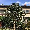 AraucariaAraucana.jpg 717 x 960 px 293.67 kB