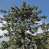 AraucariaBidwillii3.jpg 797 x 1200 px 571.54 kB