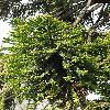 AraucariaBidwillii4.jpg 797 x 1200 px 579.02 kB