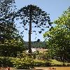 AraucariaBidwillii.jpg 623 x 927 px 212.25 kB