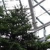 AraucariaColumnaris2.jpg 681 x 908 px 326.65 kB