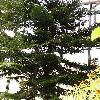 AraucariaColumnaris.jpg 692 x 922 px 223.09 kB