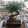 AraucariaCunninghamii3.jpg 720 x 960 px 393.88 kB