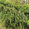 AraucariaHeterophylla4.jpg 903 x 600 px 421.64 kB