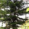 AraucariaHeterophylla5.jpg 768 x 1024 px 273.75 kB