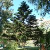 AraucariaHeterophylla6.jpg 480 x 640 px 131.58 kB