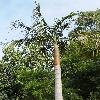 ArchontophoenixCunninghamiana.jpg 600 x 901 px 445.02 kB