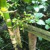 ArecaGuppyana2.jpg 678 x 908 px 352.42 kB