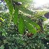 ArecaGuppyana4.jpg 678 x 908 px 374.03 kB