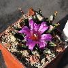 AriocarpusAgavioides2.jpg 950 x 913 px 361.7 kB