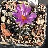 AriocarpusKotschoubeyanus2.jpg 714 x 599 px 255.4 kB
