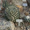 AriocarpusRetusus5.jpg 1024 x 768 px 225.54 kB