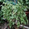 AristolochiaAnguicida2.jpg 1024 x 768 px 205.5 kB