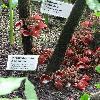 AristolochiaArborea2.jpg 720 x 960 px 423.96 kB
