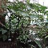 AristolochiaArborea.jpg 642 x 856 px 209.09 kB