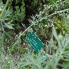 ArtemisiaAbsinthium3.jpg 600 x 800 px 278.37 kB