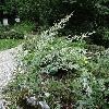 ArtemisiaAbsinthium.jpg 532 x 800 px 309.75 kB