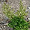 ArtemisiaAnnua.jpg 797 x 1200 px 561.71 kB