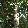 ArtocarpusHeterophyllus.jpg 684 x 912 px 426.12 kB