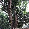 ArtocarpusInteger2.jpg 1024 x 768 px 296.27 kB