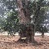 ArtocarpusInteger3.jpg 696 x 928 px 418.64 kB