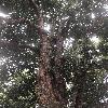 ArtocarpusInteger.jpg 696 x 928 px 419.51 kB