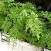 Asparagus4.jpg 1127 x 845 px 253.68 kB