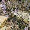 AsterAmellus2.jpg 1024 x 768 px 275.61 kB