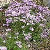 AsterAmellus.jpg 576 x 768 px 203.96 kB