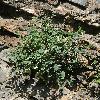 AstragalusAbolinii2.jpg 800 x 1067 px 564.68 kB