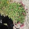 Astragalus.jpg 1024 x 768 px 301.39 kB