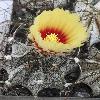 AstrophytumCapricorne2.jpg 630 x 840 px 99.06 kB