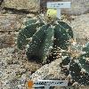 AstrophytumOrnatumVirens.jpg 681 x 908 px 327.36 kB